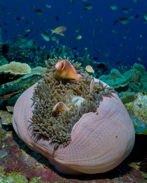 Anemone Fish Diving Weda Resort Halmahera
