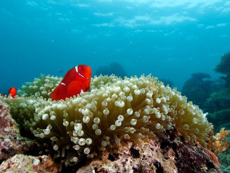 clown-fish-weda-resort