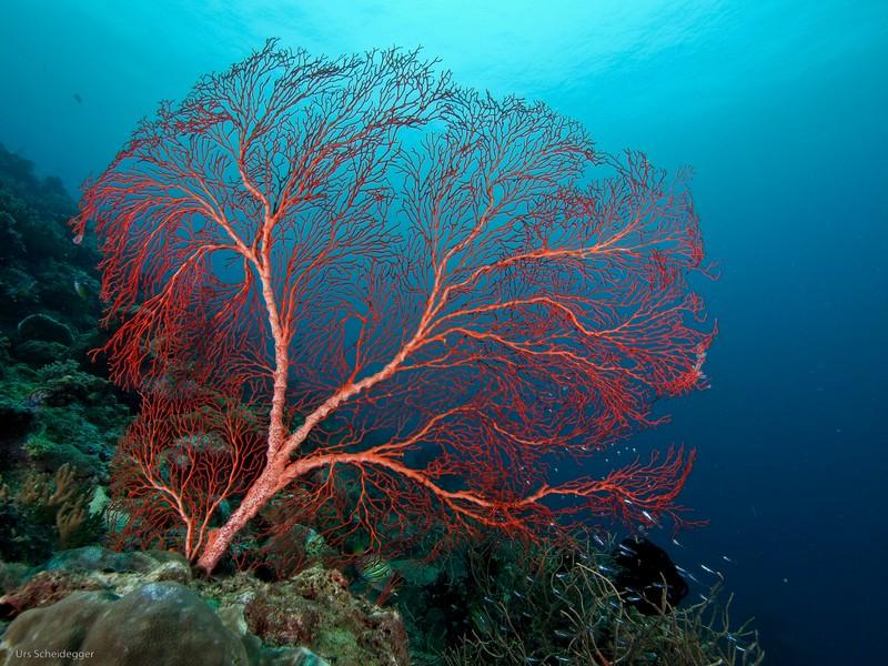 fan-coral-weda-resort