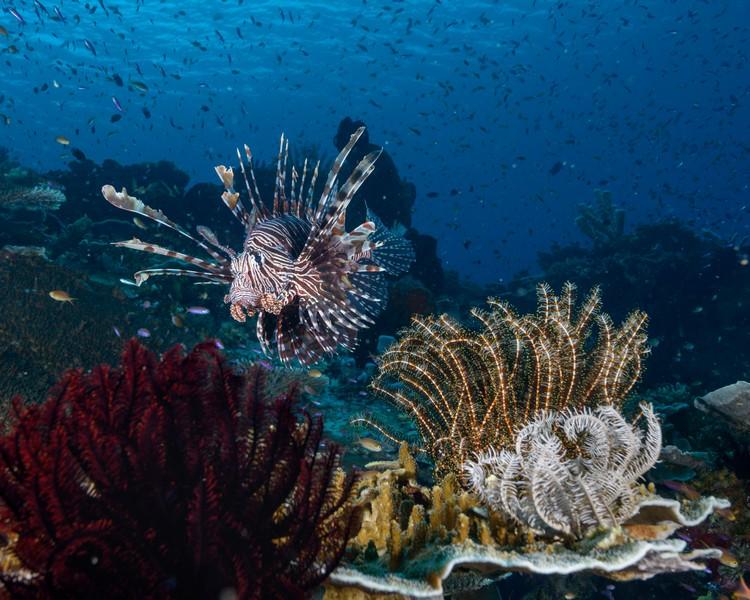 Lionfish Diving Weda Resort Halmahera