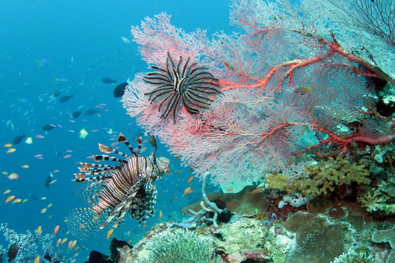 lion-fish-with-coral-weda-resort