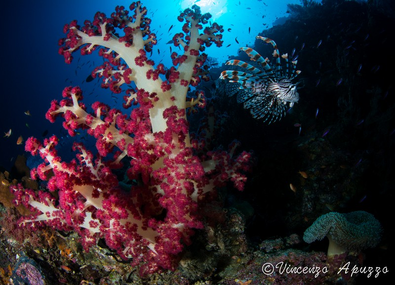 lionfish-weda-resort-halmahera-indonesia
