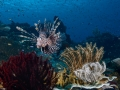Lionfish Diving Weda Resort Halmahera