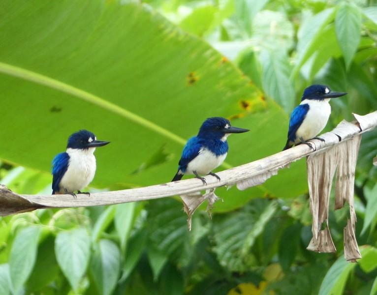 Blue and White Kingfisher in Halmahera at Weda Resort
