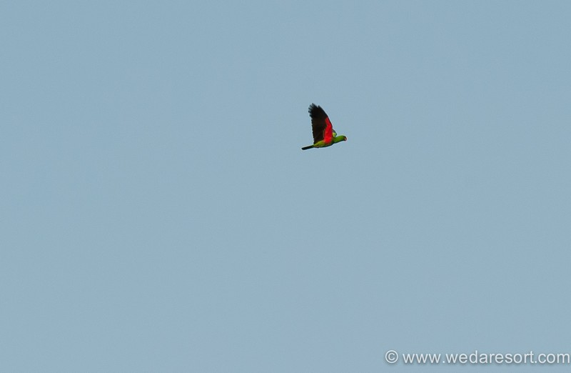 Eclectus Parrot in Halmahera at Weda Resort