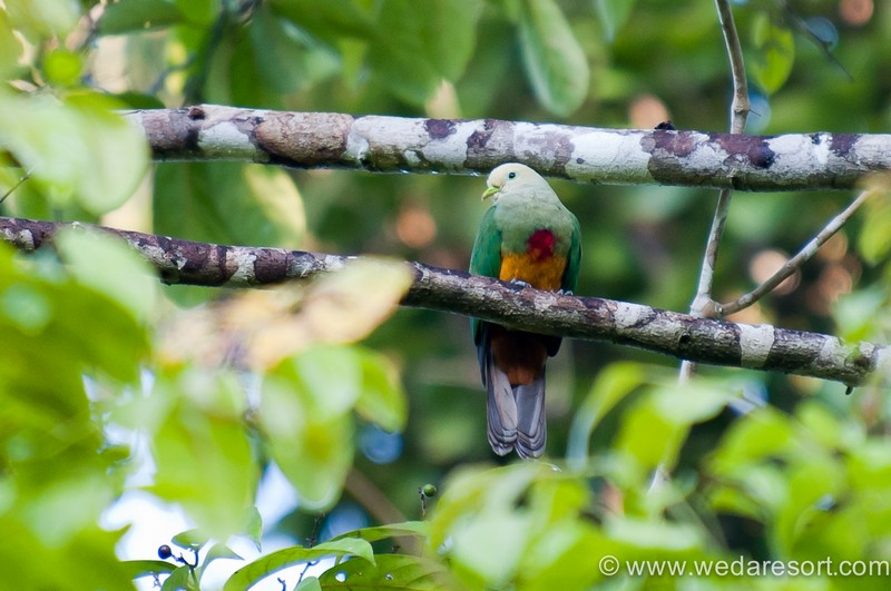 Scarlet Breasted Fruit Dove in Halmahera at Weda Resort