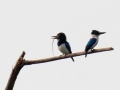 Blue and White Kingfisher in Halmahera at Weda Resort