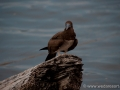 Brown Booby in Halmahera at Weda Resort