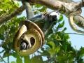 Nicobar Pigeon caught by a snake in Halmahera at Weda Resort