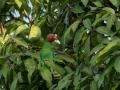 Red Cheeked Parrot in Halmahera at Weda Resort