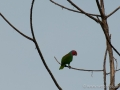 Red Cheeked Parrot in Halmahera at Weda Resort