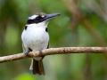 Sombre Kingfisher in Halmahera at Weda Resort