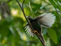 Standard Wing Bird of Paradise in Halmahera at Weda Resort