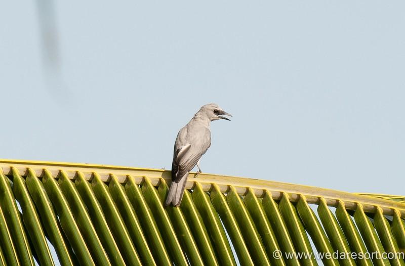 White Bellied Cuckoo Shrike in Halmahera at Weda Resort